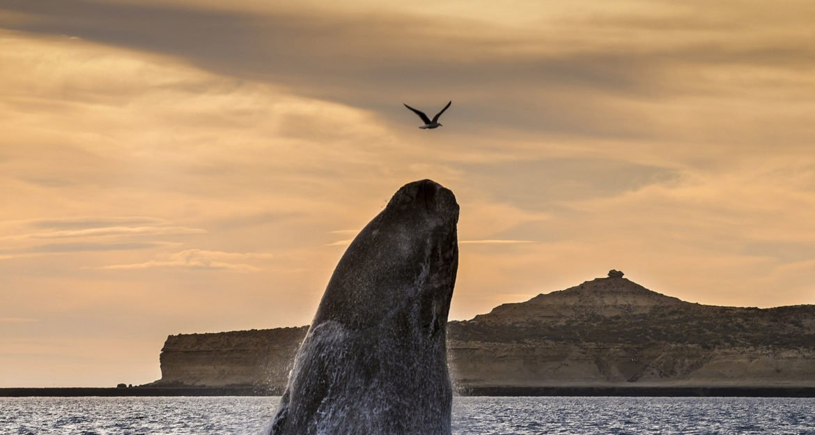 Whale jumping out of water in Patagonia