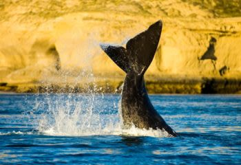 Whale tail flips out of water in the Peninsula Valdes Argentina