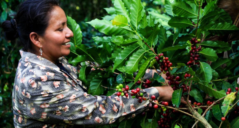 Woman picks beans off leafy bush