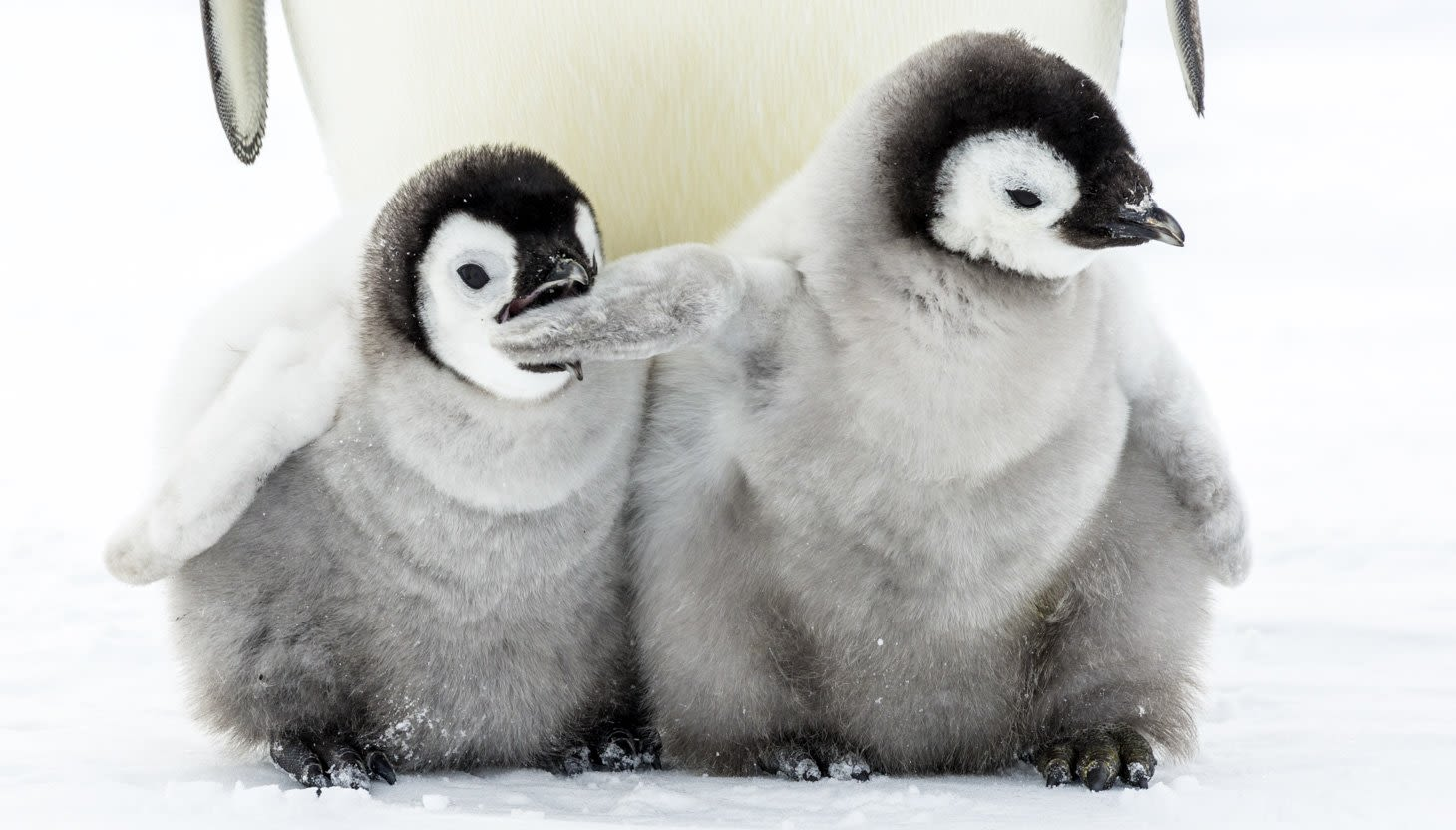 Two fluffy baby penguins, one biting the other's wing
