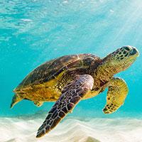 Cute Galapagos Turtle swimming