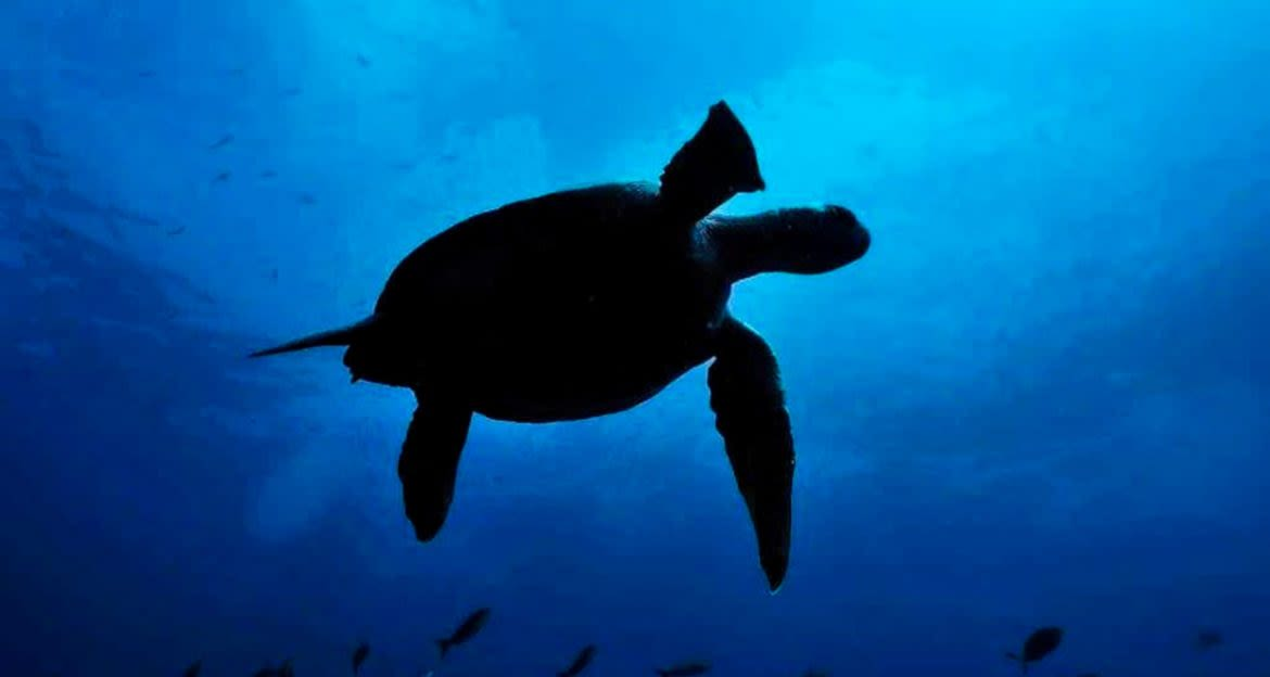 View from below of swimming turtle silhouette