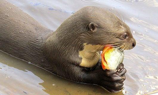 beaver-eating-fruit-while-swimming