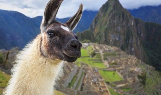 close-up-llama-with-machu-picchu-citadel-behind-them
