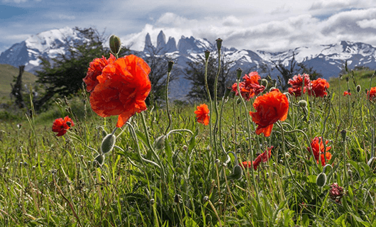 Patagonia wild flowers