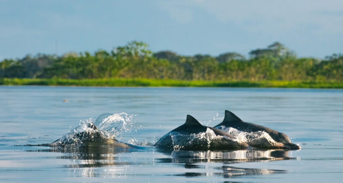 dolphins swimming at the uakari lodge