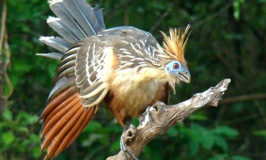 Birds at Uakari Lodge
