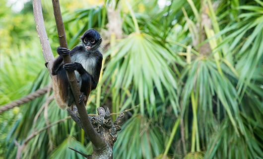 cute spider monkey sitting on jungle branch in Guayana