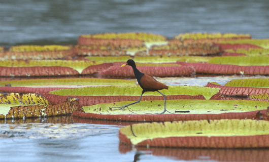 cool bird walking over giant lily pads in river