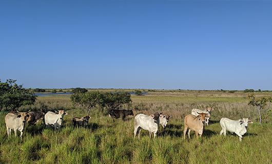 cute cows relaxing in open field