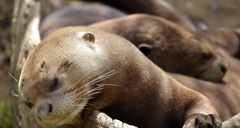 sleepy river otter in guyana