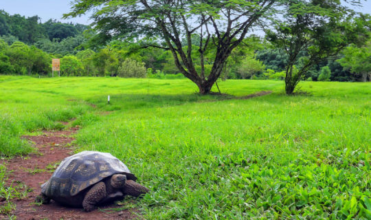 Giant Tortoise in Galapagos Islands wandering around