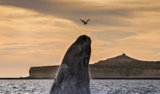 Huge whale jumping out of water in Patagonia tour