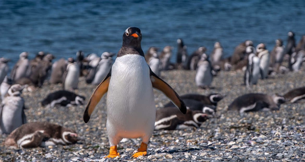 Penguin staring at camera with other penguins nesting in back