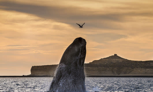 Whale leaping from ocean at Puerto Madryn