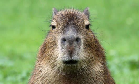Adorable Capybara