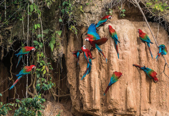 parrot clay lick, something you can see in the amazon rainforest