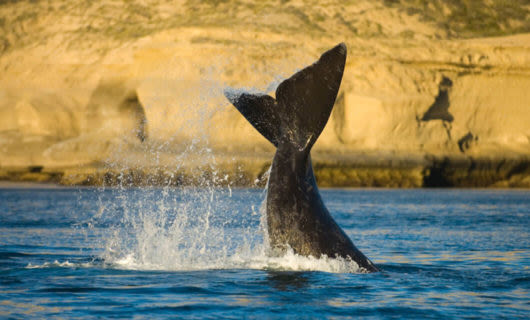 whale fin extending out of ocean at Peninsula Valdes