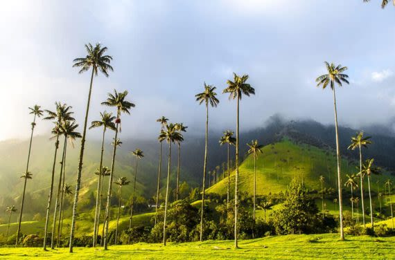 tallest palm trees in the world