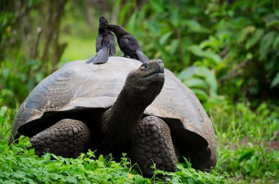 Giant Tortoise from Galapagos Islands
