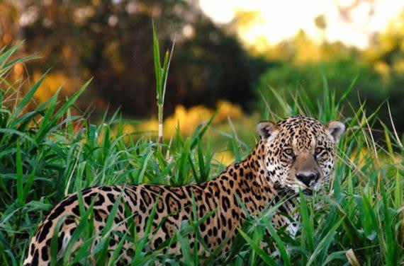 jaguars in guyana