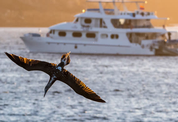 bird diving in the waters of the galapagos