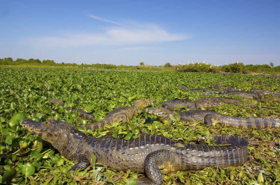 group of caiman in pantanal wetlands