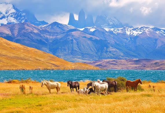 horses grazing in patagonia