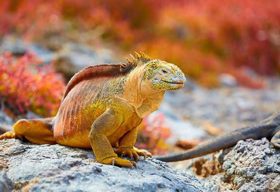 land iguana on the galapagos