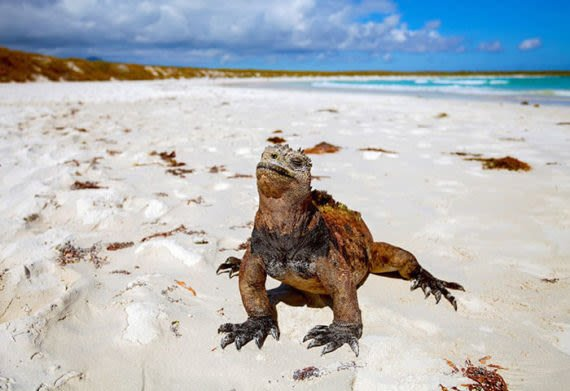 iguanas on the sand of a beach in the galapagos