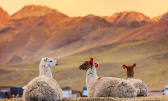 llamas laying in mountain valley