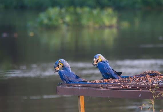 birds in the pantanal wetlands