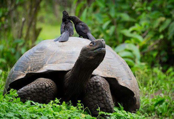 the giant tortoise in the galapagos