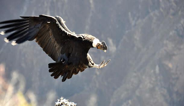 condor landing on a rock in the colca canyon peru