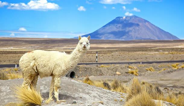 llama standing in front of el misti volcano