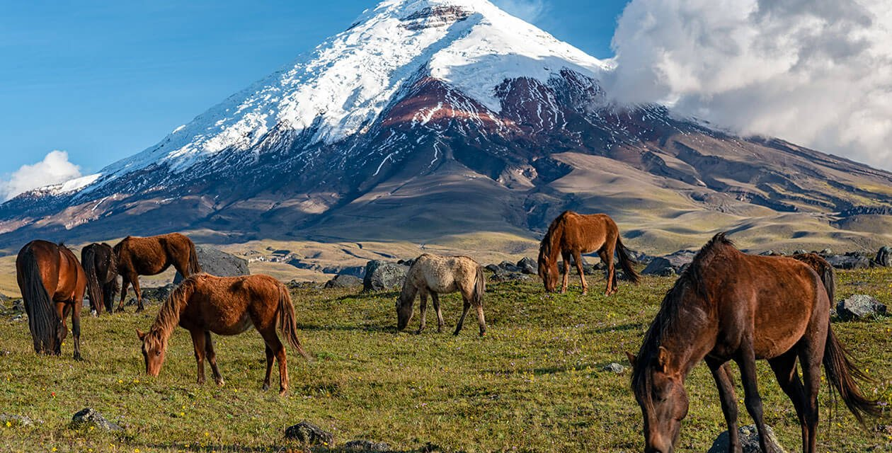 wild horses roaming the land of cotopaxi national park