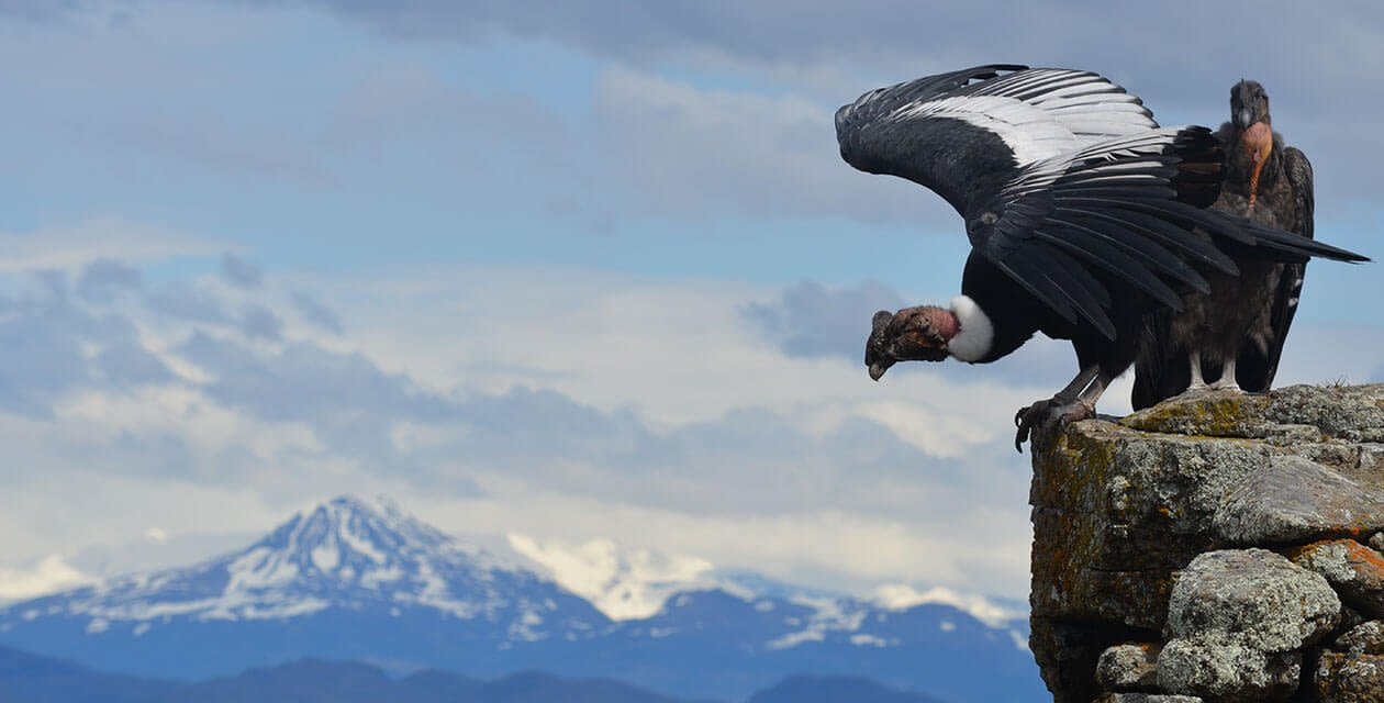 Two giant andean condors preparing to take flight