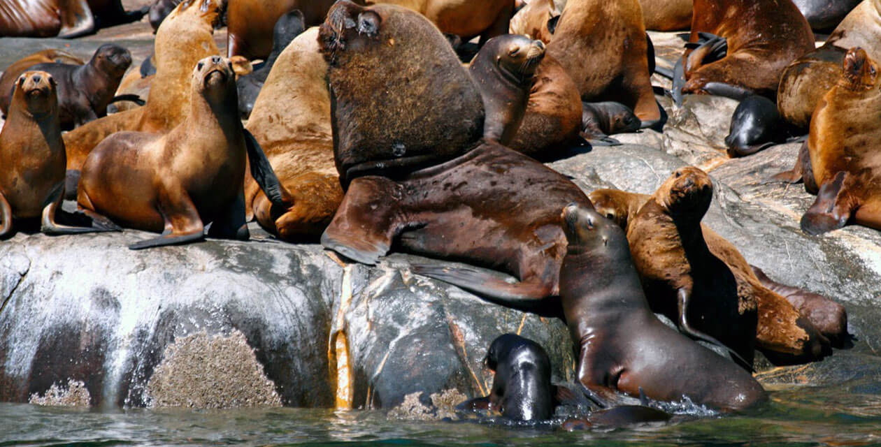 large colony of male and female sea lions