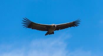 condor flying in the sky