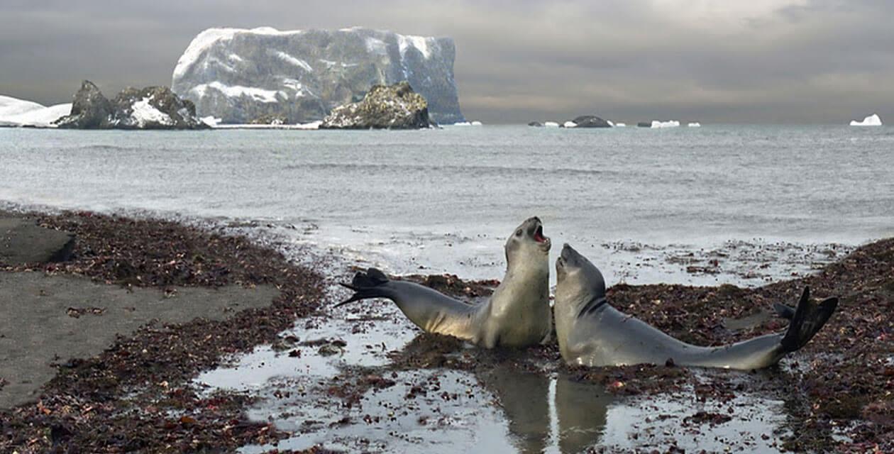 two female elephant seals on beach