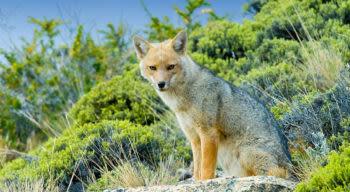 patagonia fox